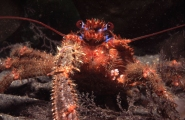 Squat_Lobster, Isle of Man