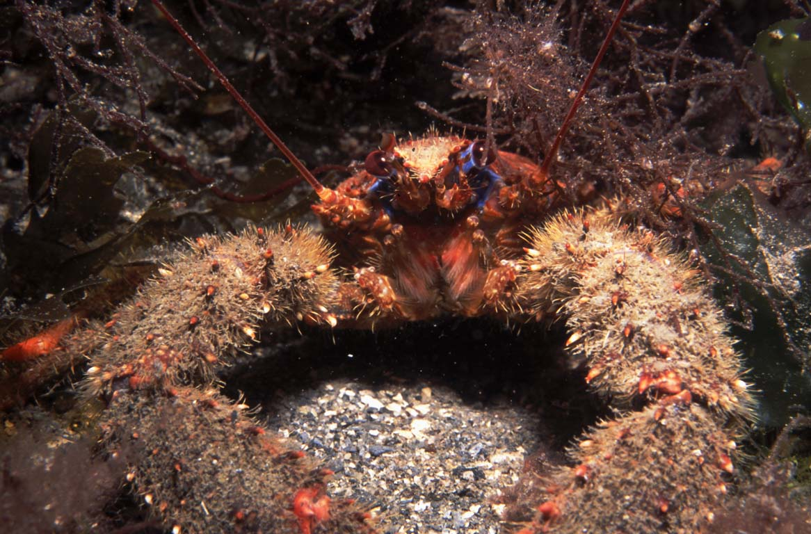 Squat Lobster Photo