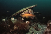 Wrasse, Isle of Man