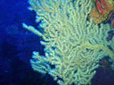 False black coral, Ustica