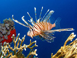 Lionfish  over soft corals in the Red Sea