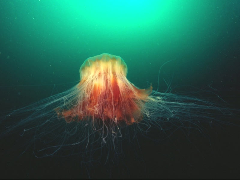 Lion's Mane jellyfish, with stinging tentacles