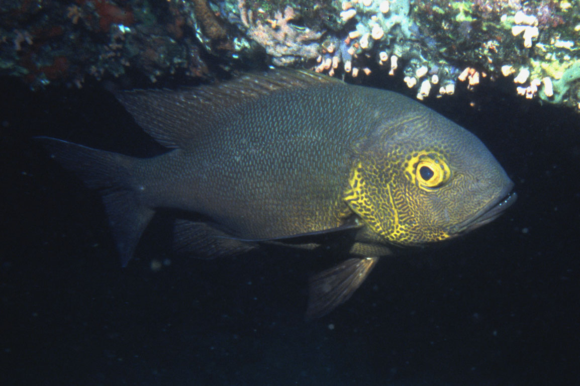 Midnight Snapper, Macolor macularis