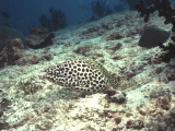 The Maldives, honeycomb moray