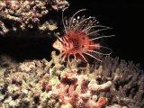 The Maldives, Lionfish