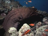 The Maldives, moray eel