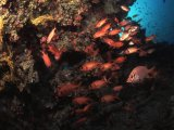 The Maldives, soldierfish