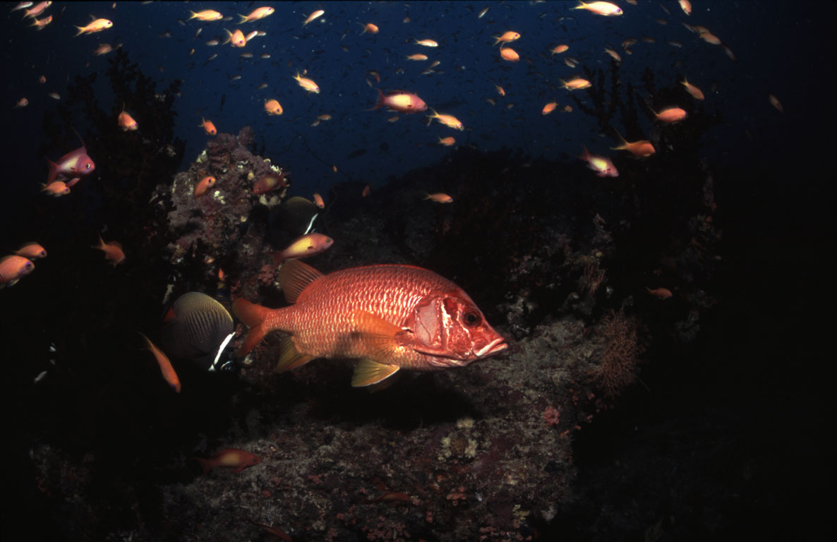 Squirrelfish, Dhigali Haa (Baa Atoll), Maldives