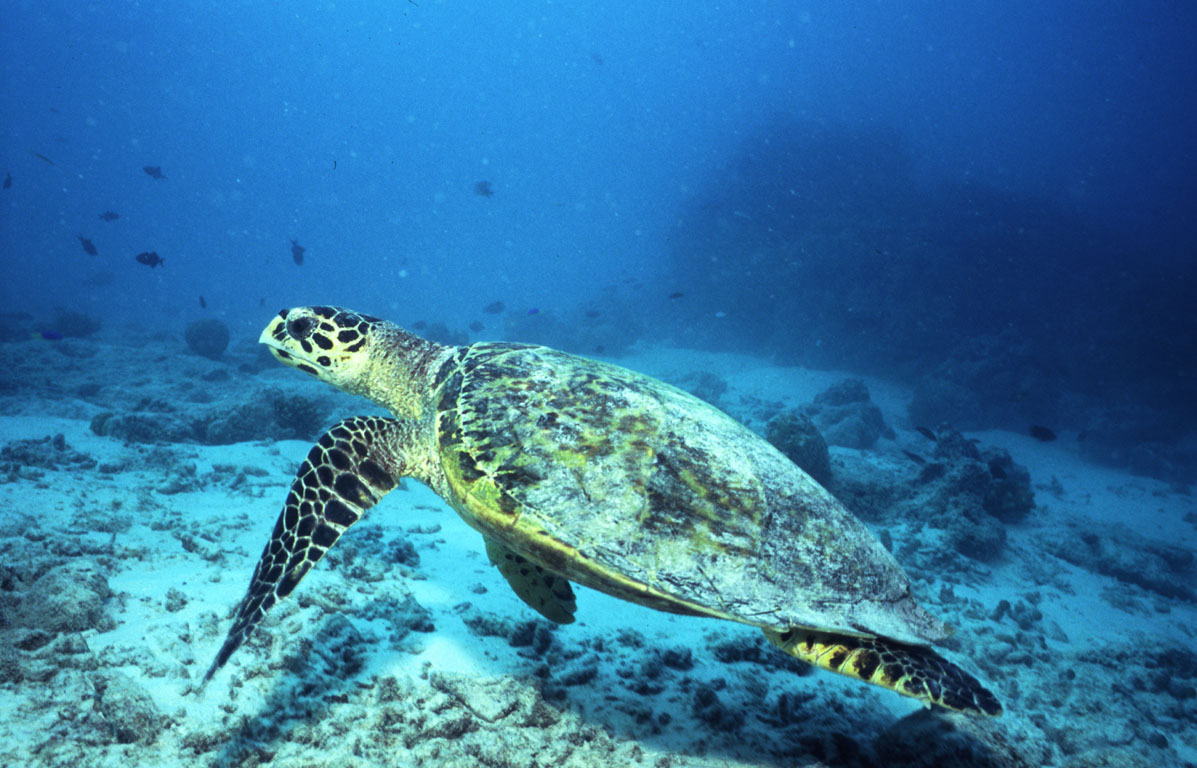 Turtle at the Maldives