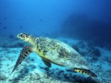 Maldives diving: Hawksbill turtle