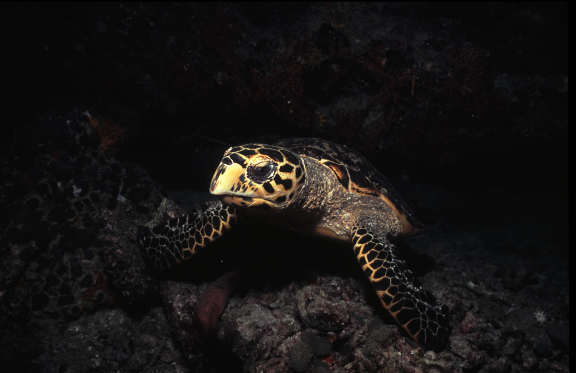 Turtle, Dhelanan Faru Night (Noonu Atoll), Maldives