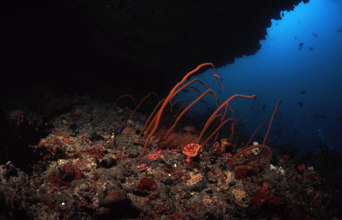 Whip coral, Christmas Tree Rock (Noonu Atoll), Maldives