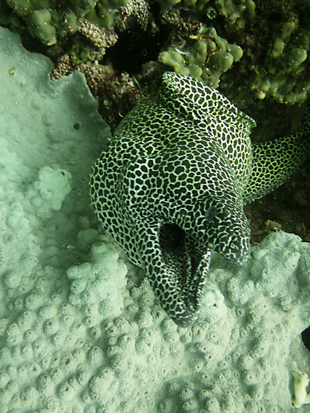 Moray eel Western Daymaniyat Islands