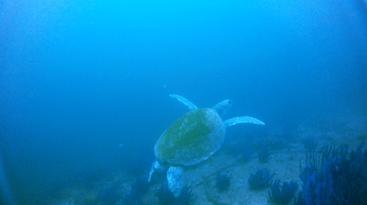 Turtle, Western Daymaniyat Islands