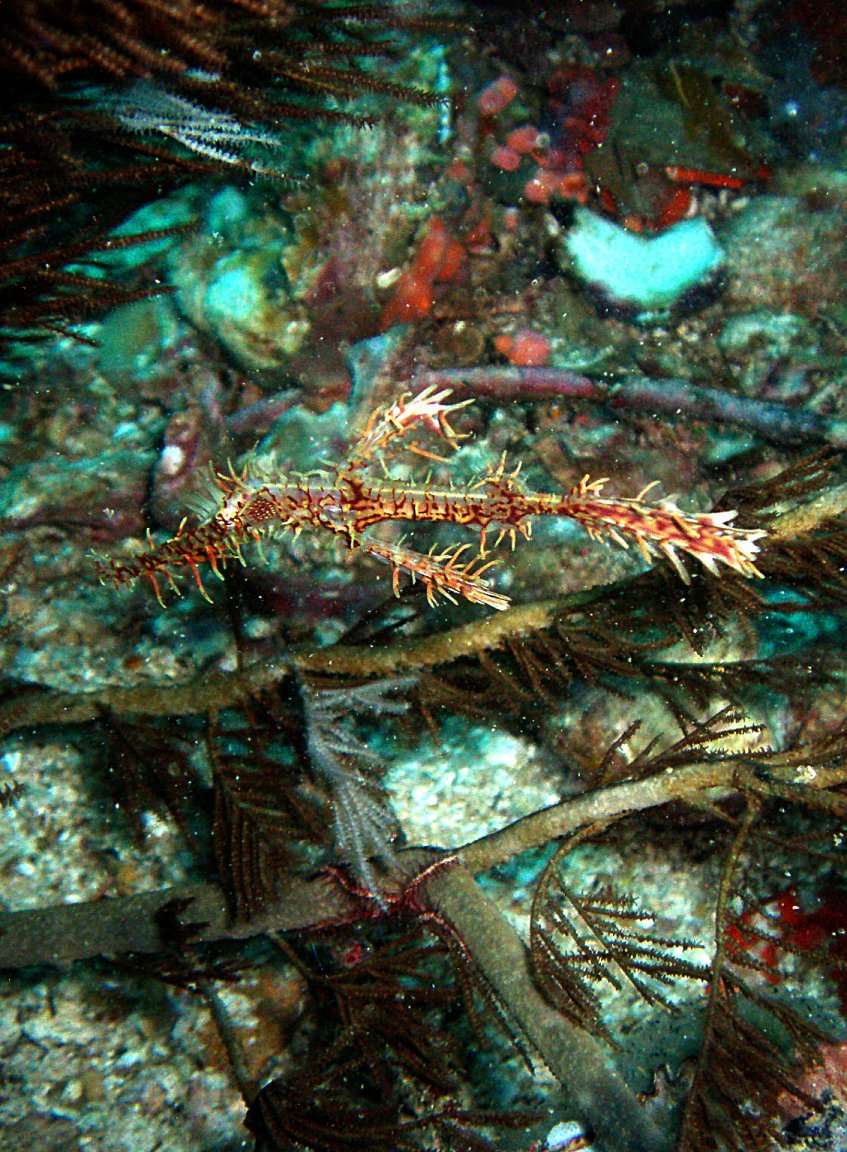 Ornate Ghostpipefish picture