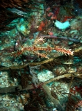 Ornate Ghost pipefish, philippines