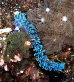 nudibranch, philippines