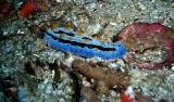 Nudibranch, Dusky Nembrotha