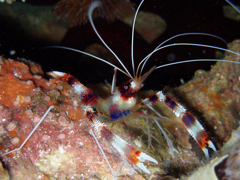 Banded Boxer Shrimp, Stenopus hispidus picture