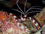 Banded shrimp, philippines