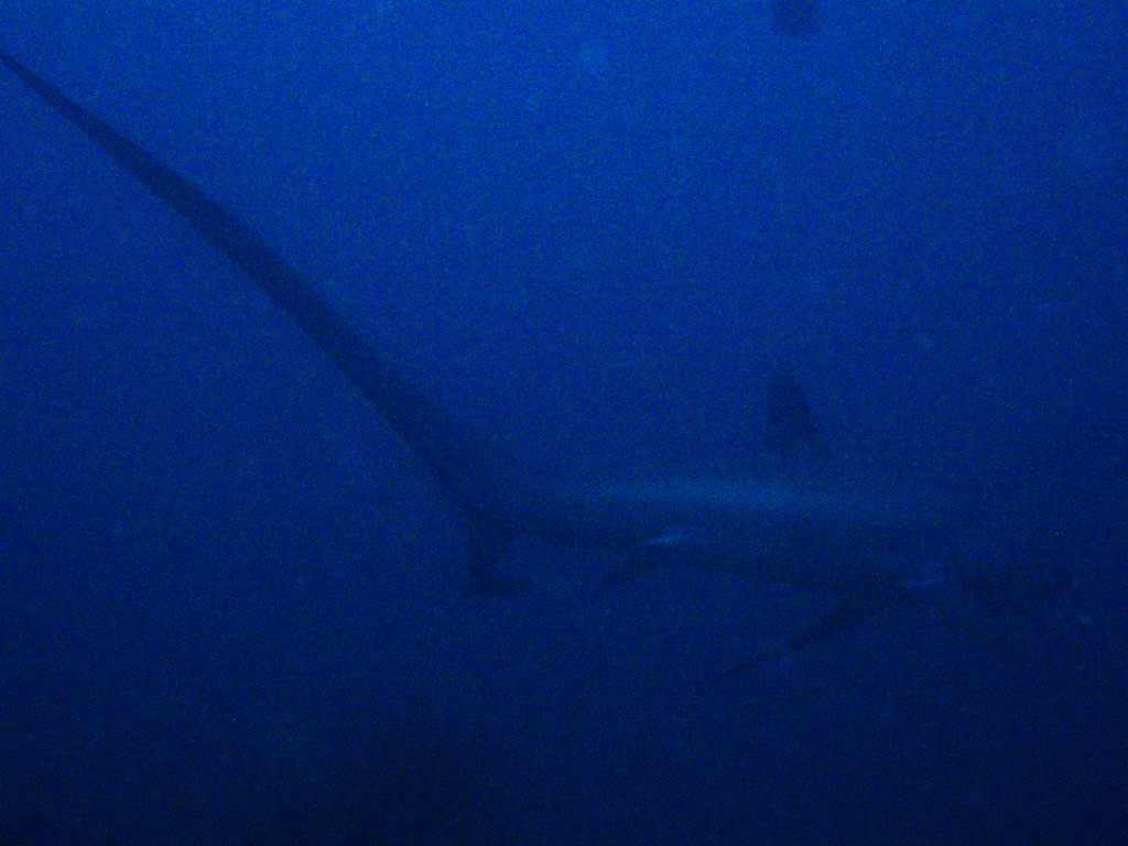 Thresher Shark, Alopias pelagicus picture
