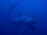 Thresher Shark, Malapascua, Cebu