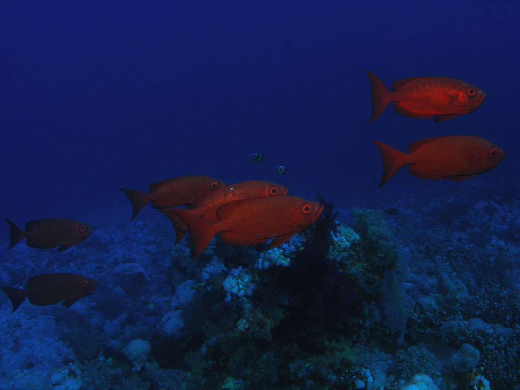 Bigeye fish  Photo