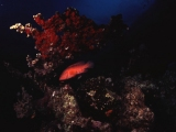 Coral Grouper, Abu Dabbab,Red Sea