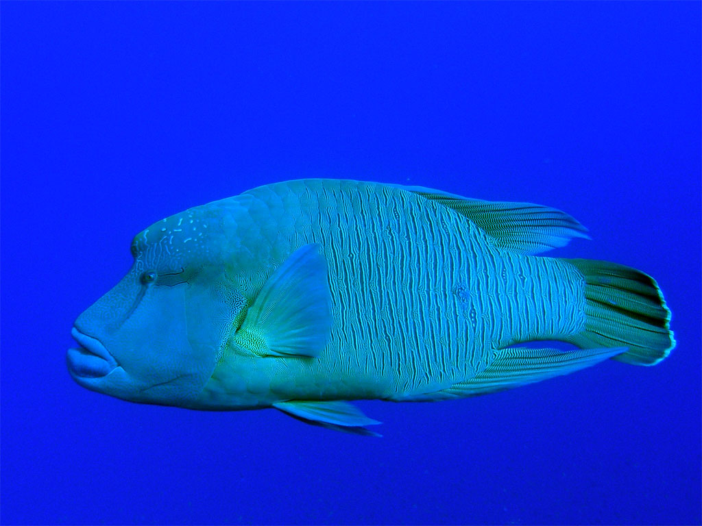 Humphead Wrasse  Photo