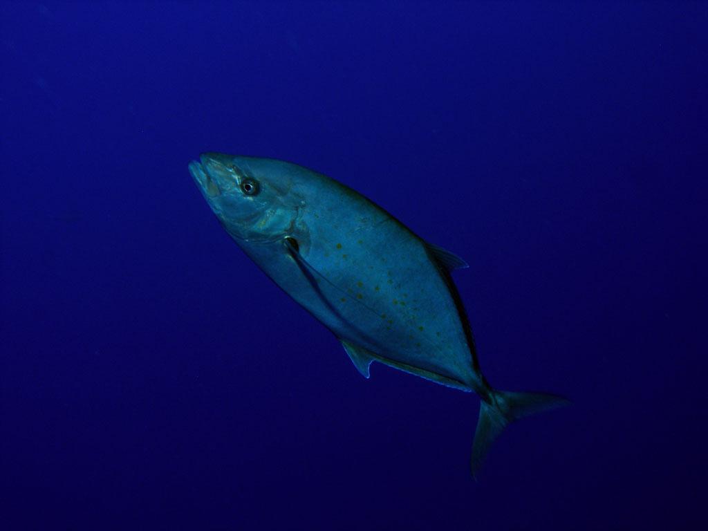 Jack fish  Photo
