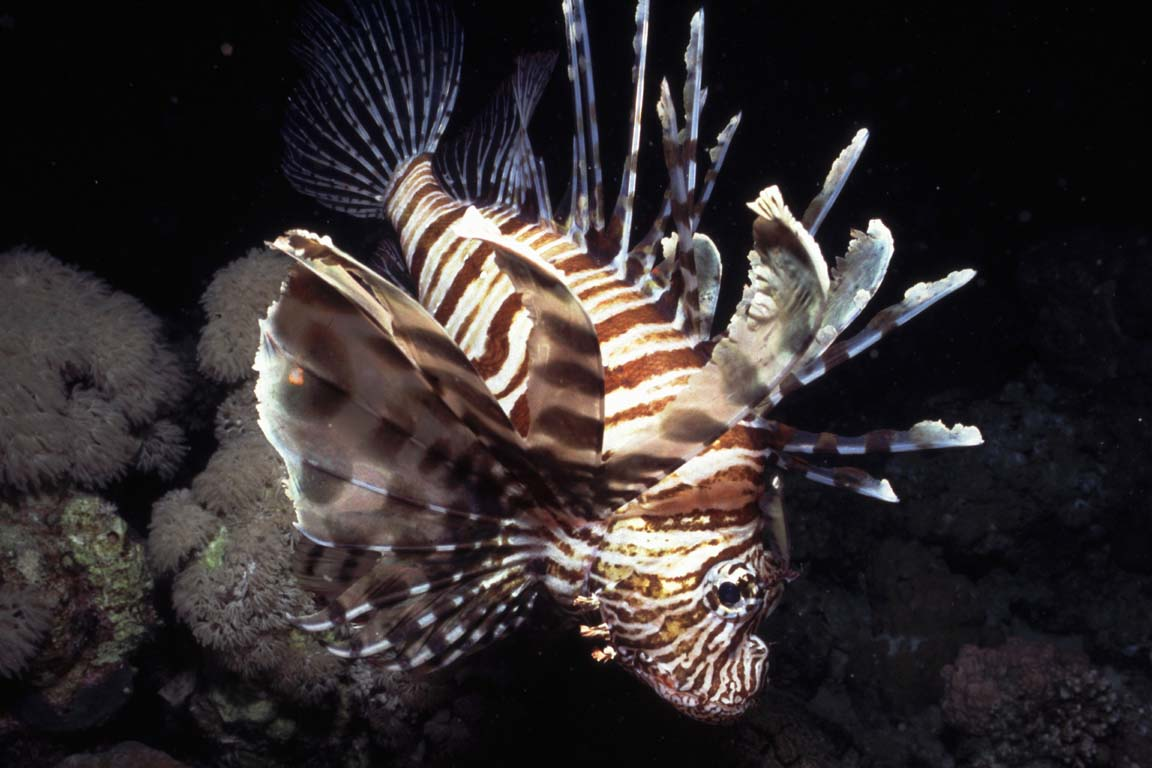 Lion fish, Pterois miles
