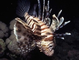 Lion fish, Sha'ab Um Usk, Red Sea