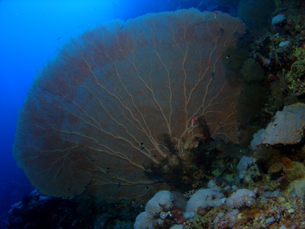 Sea Fan Photo
