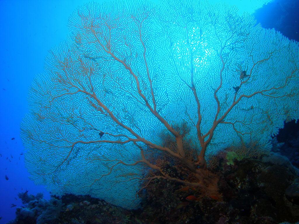 Ethereal Sea Fan (Gorgonia)