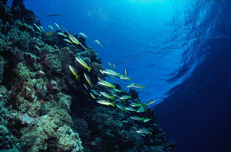 Shoal of Snapper on Red Sea Coral Reef