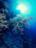 Soft Coral, Shaab Fargha, Red Sea