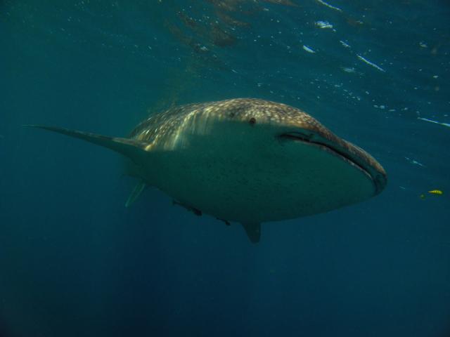 Whale shark in Djibouti