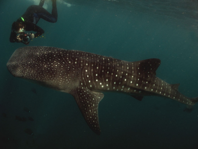 Whale shark and snorkeller in Djibouti