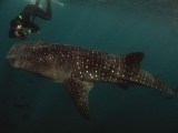 Diving with Whale Shark Picture