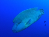 Humphead Wrasse on Little Brother