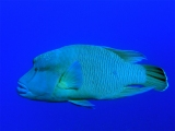 Humphead wrasse on Big Brother