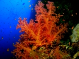 Soft coral on Little Brother