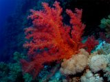 Soft Coral on Big Brother