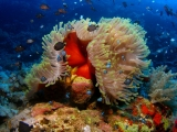 Anemone and Clownfish on Daedalus Reef, Red Sea