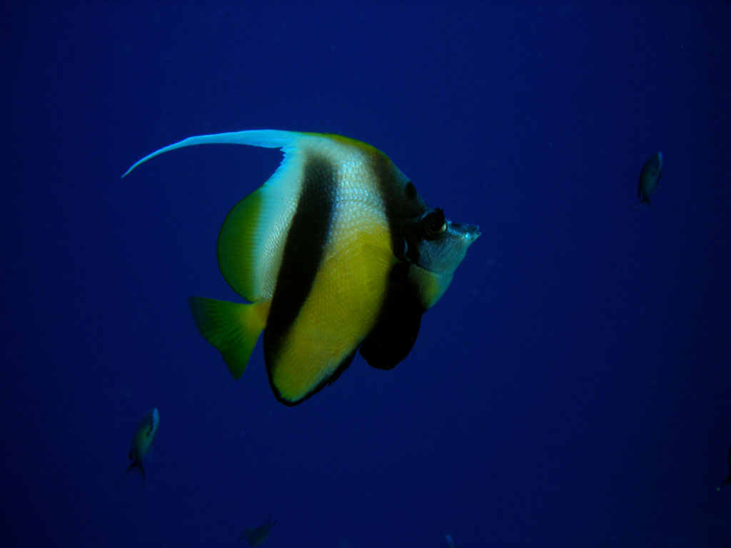 Banner fish, Heniochus intermedius,
