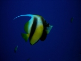 Banner fish on Daedalus Reef, Red Sea