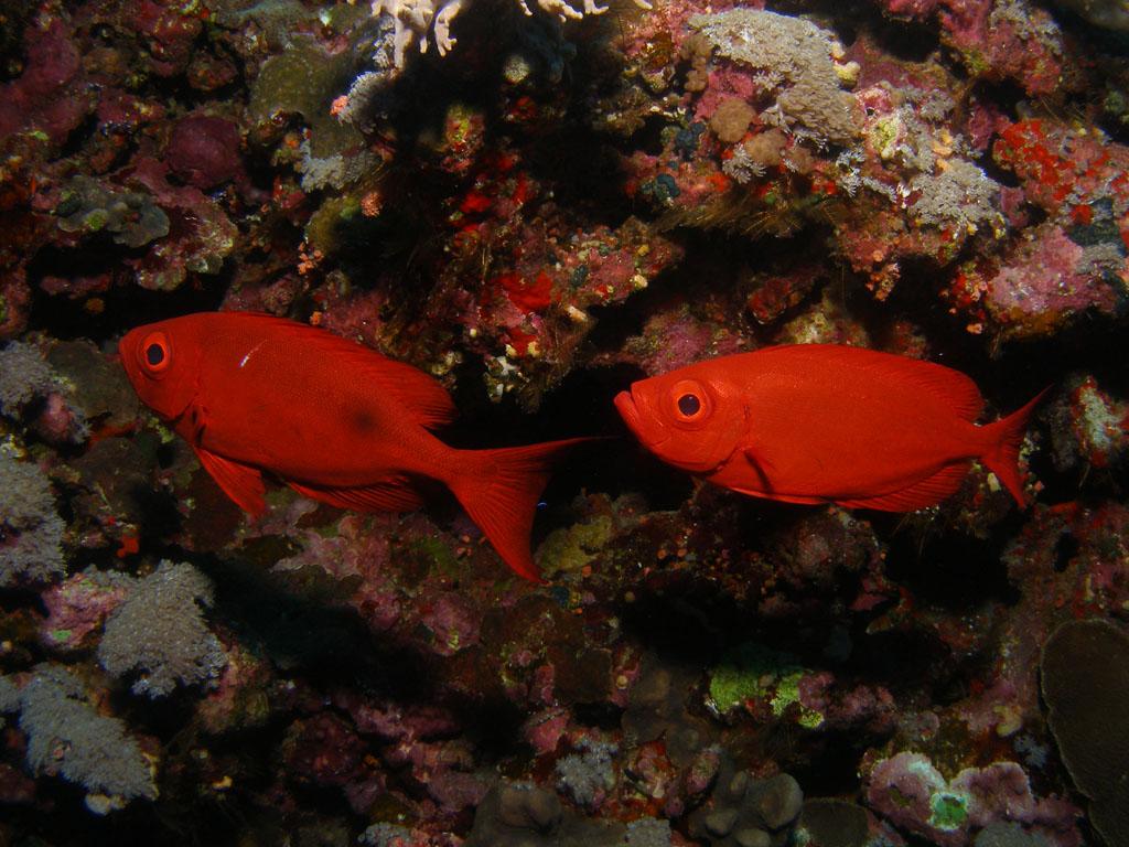Bigeyes fish photo
