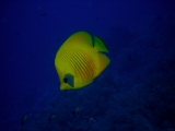 Butterflyfish on Daedalus Reef, Red Sea