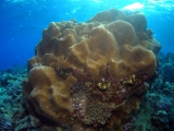 Coral head on Daedalus Reef, Red Sea
