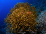 Fire coral on Daedalus Reef, Red Sea